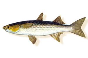Chelon-aratus