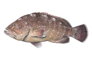 Epinephelus_marginatus
