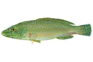 Labrus_viridis