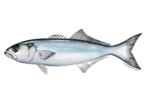 Pomatomus-saltatrix